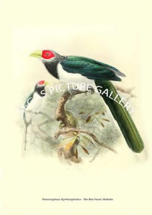 PHOENICOPHAES PYRRHOCEPHALTUS - THE RED-FACED MALKOHA